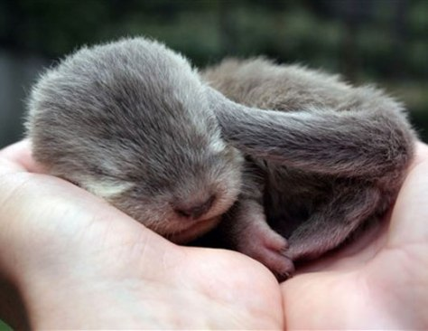 Crown Conservation - Photo 1 - Zen Photography a very very young little baby otter